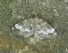 1803 Small Rivulet - Perizoma alchemillata