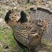 Ruffed Grouse by U.S. Fish and Wildlife Service - Midwest Region