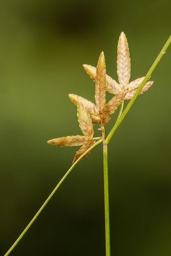 exotic monocots cyperaceae cyperuslanceolatus epiphyticflatsedge