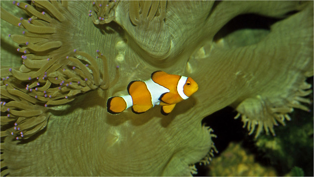 Anemone with common clownfish