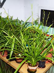 Cymbidium erythraeum species orchid, acquired bare root 2-14, 1st spikes 10-16