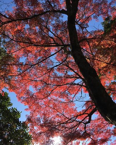 紅葉 #🍁 #autumnleaves