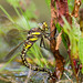 Hawker ovipositing by Max Thompson Photography