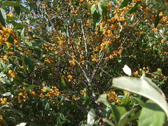 shrub(0.0), flower(0.0), strawberry tree(0.0), plant(0.0), produce(0.0), food(0.0), bitter orange(0.0), evergreen(1.0), leaf(1.0), tree(1.0), flora(1.0), fruit(1.0), aquifoliaceae(1.0), aquifoliales(1.0),