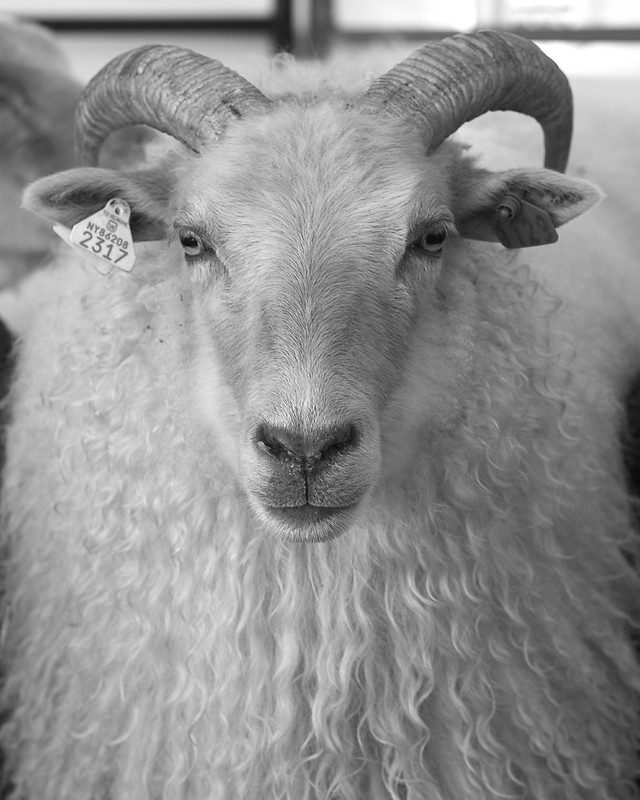 The Jumbuck: Icelandic Sheep 6095-2