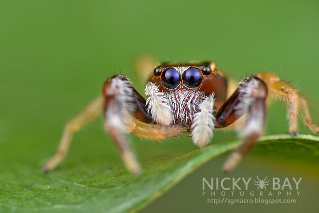Jumping Spider (Salticidae) - DSC_7487