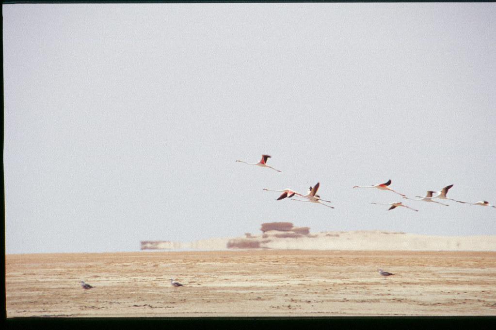 Mauritanie - Banc d'Arguin - Envol de flamands roses