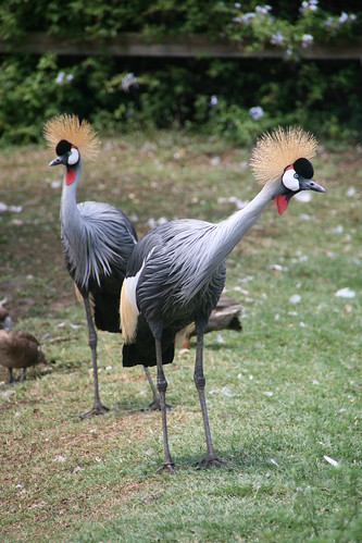 Crested Cranes in Casela Nature Park, Black River, Mauritius. Picture via: http://www.flickr.com/photos/65512994@N08/ CC by 2.0