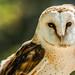 Owl by Robert Greatrix