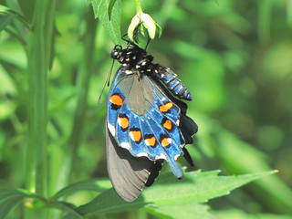 Newly emerged Pipevine Swallowtail in the sun light....
