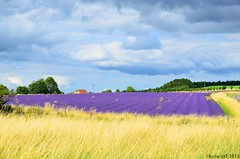 _RT38603 Snowshill Lavender Fields Cotswolds Gloucestershire 09-08-2013