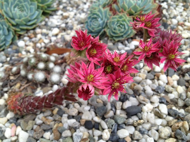 Hen and chicks flowers