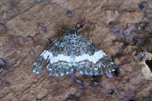 White-banded Carpet (Spargania luctuata)