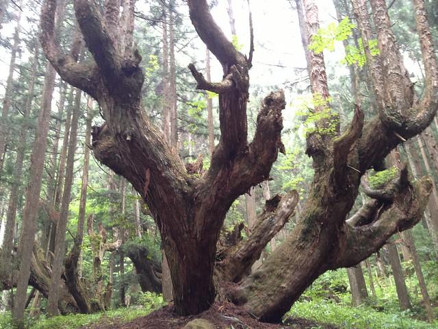 蕪山 株杉の森 株杉