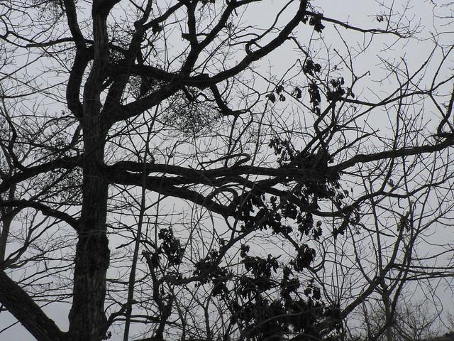 葉がないのでヤドリギやクマ棚がよく目立っていた.