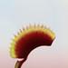 "Small photo of Dionaea ""Red Piranha"""