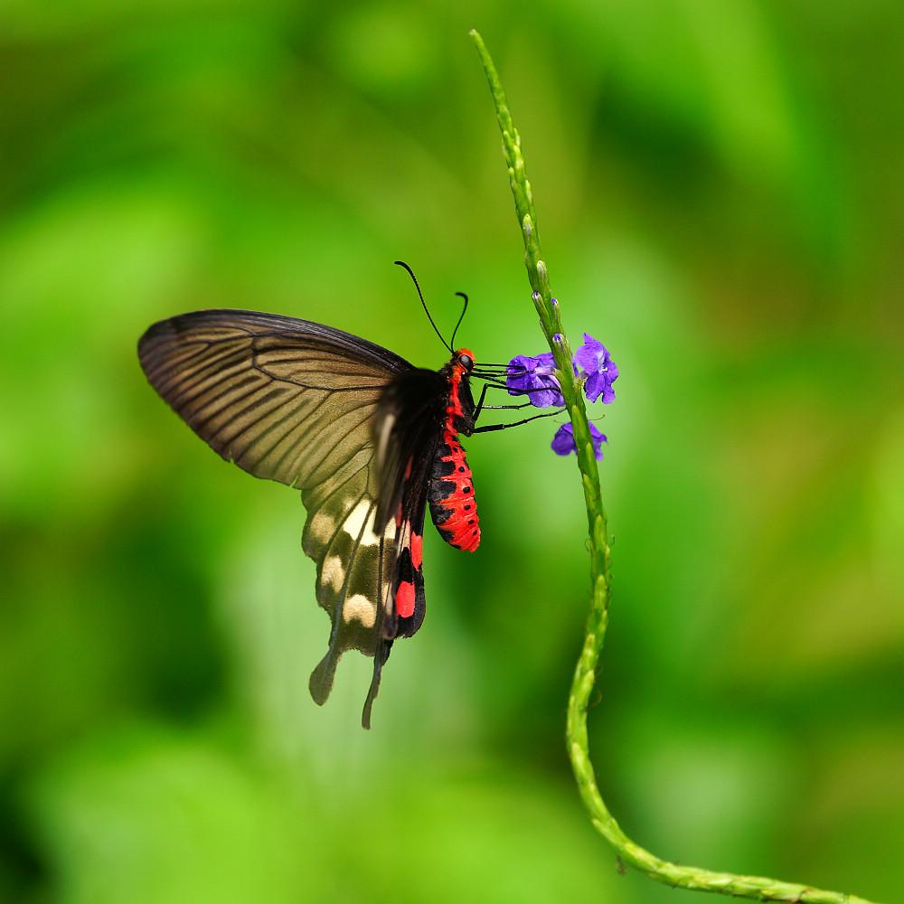 珠鳳蝶屬紅珠鳳蝶-2
