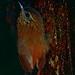Wedge-billed Woodcreeper (Glyphorhynchus spirurus) ©berniedup