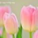 Tulip_鬱金香