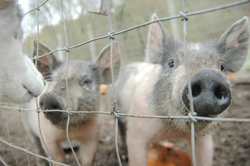 a dreary day at the pumpkin patch with frida and pigs and goats and rabbits, oh my! V.
