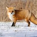 Red Fox 28-11-13 by r.gelly
