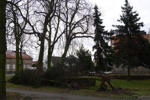 Durch Orkantief 'Xaver' entwurzelter Baum