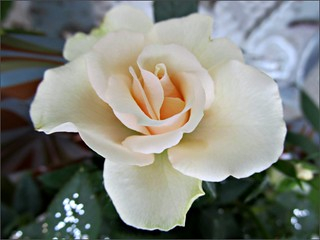 Parade Rose #1