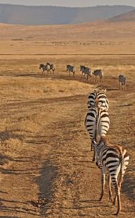Tanzania - Ngorongoro Crater - zebra