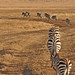 Tanzania - Ngorongoro Crater - zebra by Harshil.Shah