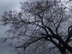 Ume tree