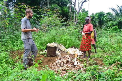 Harvesting kassava