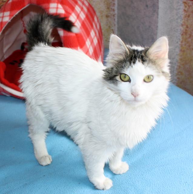 Neus, gata blanca cruce Van Turco pelo largo nacida en Julio´13 en adopción. Valencia. ADOPTADA. 12028743196_b5bf4f335c_z
