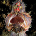 Commerson frogfish by Randi Ang