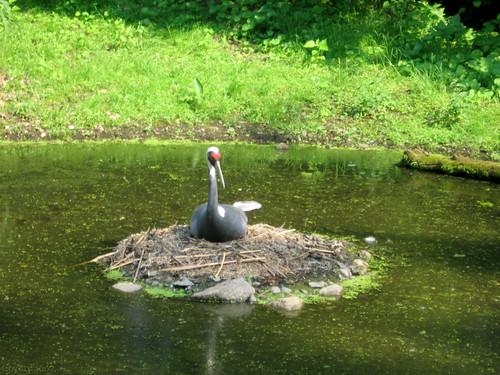 Nesting sandhill crane by Coyoty