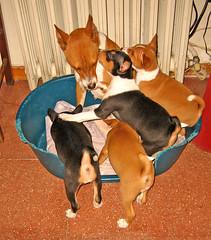 dog breed(1.0), animal(1.0), dog(1.0), pet(1.0), mammal(1.0), miniature pinscher(1.0), basenji(1.0),