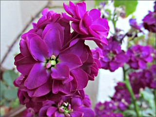 Purple container flowers