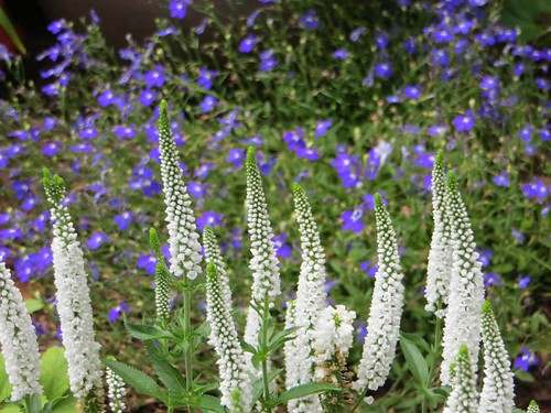 Veronica Vernique White & Dark Blue Lobelia