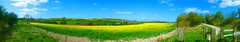 The Yellow fields of Wiltshire