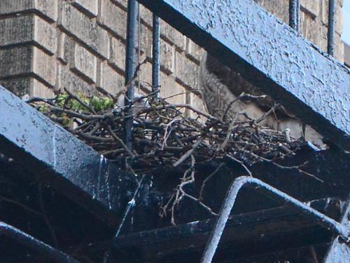 JHW Hawk Nestling (8525)