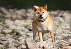 animal, dog, shiba inu, red wolf, pet, mammal, fauna, finnish spitz, wildlife,