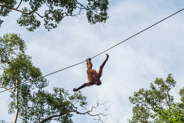 Sepilok Orang Utan Sancturary-4.jpg What animals can you see in Borneo? | Amazing animals in Borneo | How to see orangutans in the wild | How to see pygmy elephants | Can you see flying lemurs in Borneo? | See sun bears in Borneo