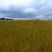 Champ de blés en agriculture biologique