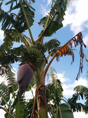 adelaide bananas