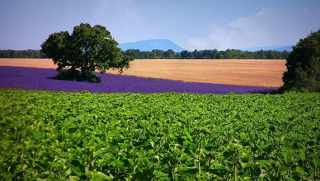 France provence lavendelfelder bei valensole fields for Lavendelfelder provence