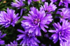 Purple Astors