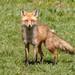 Red Fox by Nick Pulcinella