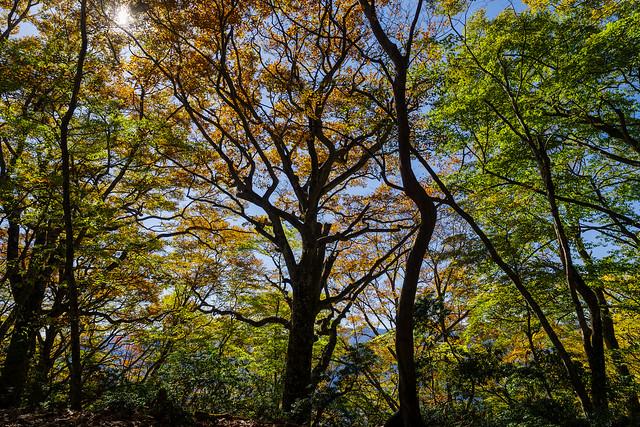 ブナの大木@ウノタワ手前の稜線