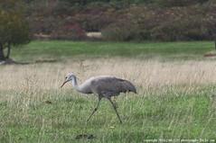 Birds -  Rare or Unusual