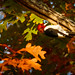 Red-headed Woodpecker and Oak Leaves by Wildphotography - Barry Rowan