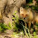 Renard  Red Fox 19-06-13 by r.gelly